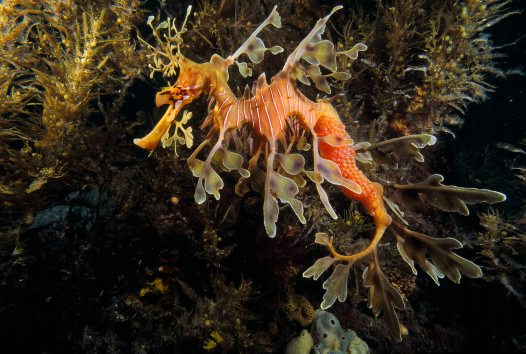 Leafy Seadragon, Victor Harbour
