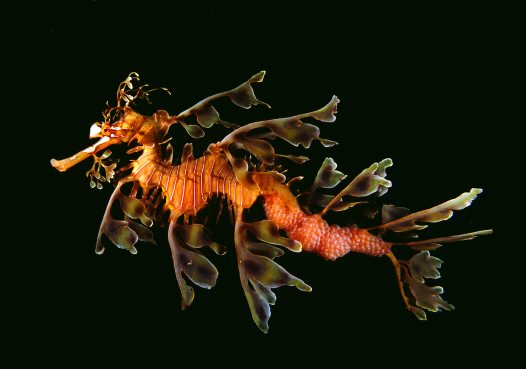Male Leafy Seadragon at Victor Harbour