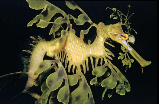 Leafy Seadragon at Victor Harbour