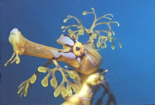 Head of a Leafy Seadragon