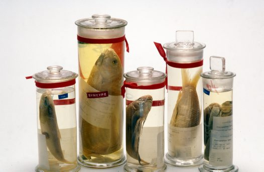 Old specimen jars from the fish collection
