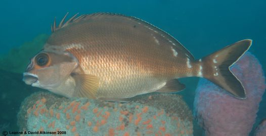 A Red Morwong at Fly Point