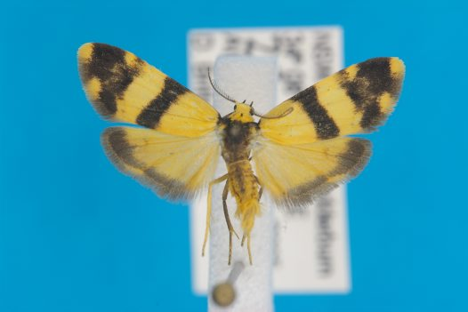 Lithosiinae Thallarcha chrysochares male