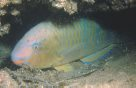 A Bluebarred Parrotfish at Shiprock