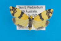 Lithosiinae Thallarcha chrysochares female