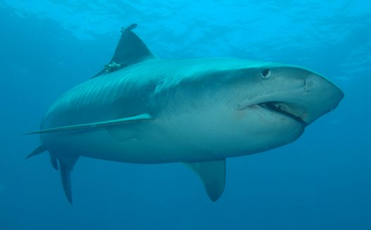 A Tiger Shark at Alliwal Shoals