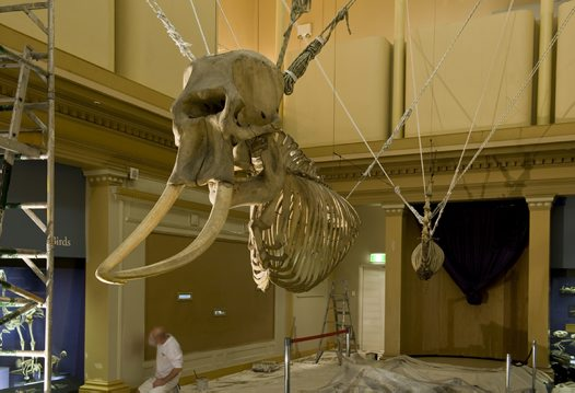 Skeleton Gallery Revamp: Suspended Elephant