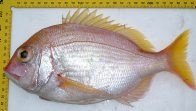 Yellowback Seabream, Dentex tumifrons