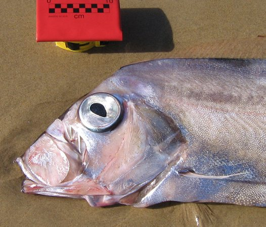 Head of a Southern Ribbonfish