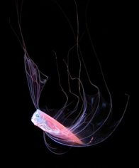 Larval ribbonfish, Trachipterus sp