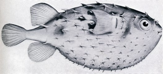 Australian Burrfish illustration