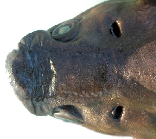Head of a Plunket's Dogfish from off Eden