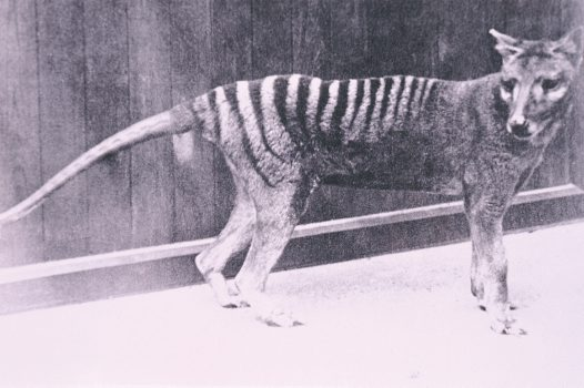 Thylacine at Hobart Zoo, 1930s