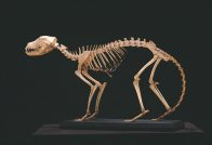 Thylacine, mounted skeleton