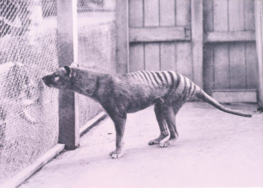 Thylacine at Hobart Zoo, c 1928