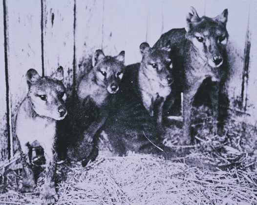 Adult Thylacine with young