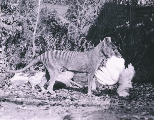 Thylacine with bird in mouth
