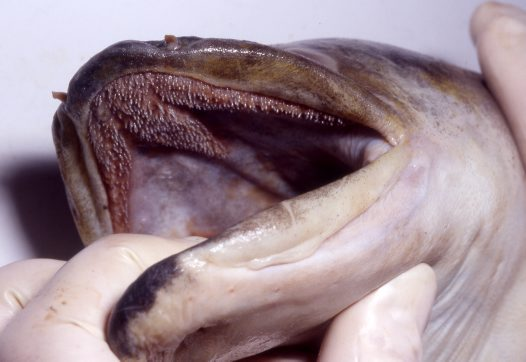 Longfin Eel teeth
