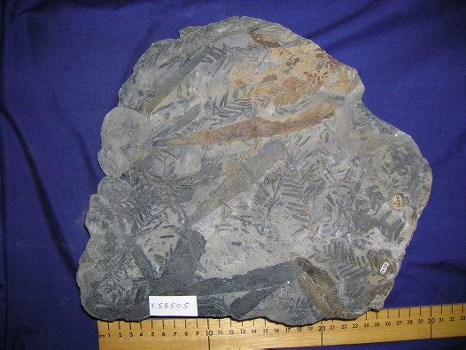 Fossil: Conifer, Rissikia media