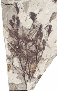 Fossil: Archaefructus liaoningensis