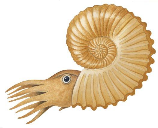 Ammonite Australiceras Jacki Australian Museum