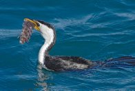 Rosy Weedfish being eaten by a Cormorant