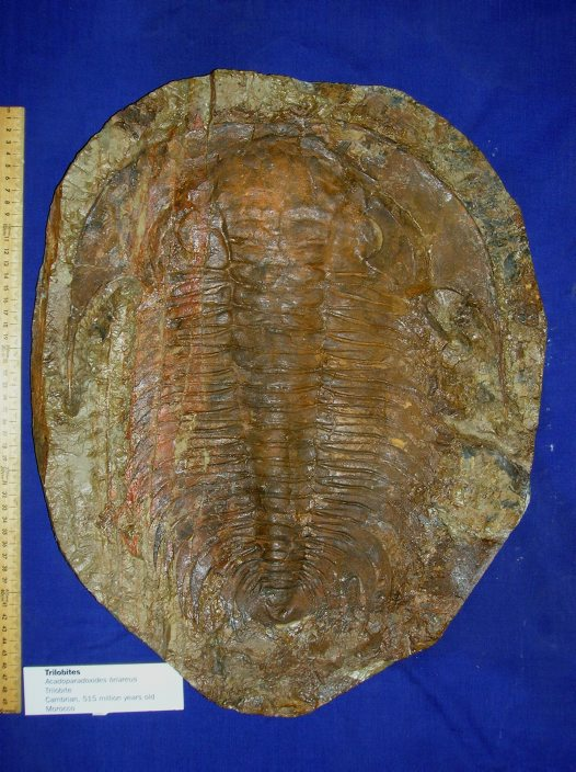 Impression fossil: trilobite, internal