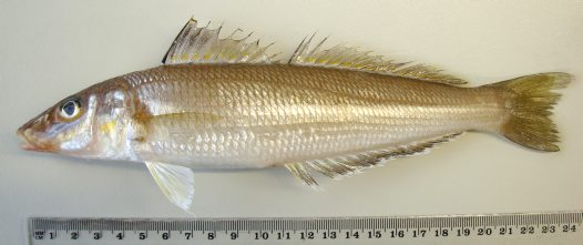 A Stout Whiting from the Hawkesbury River