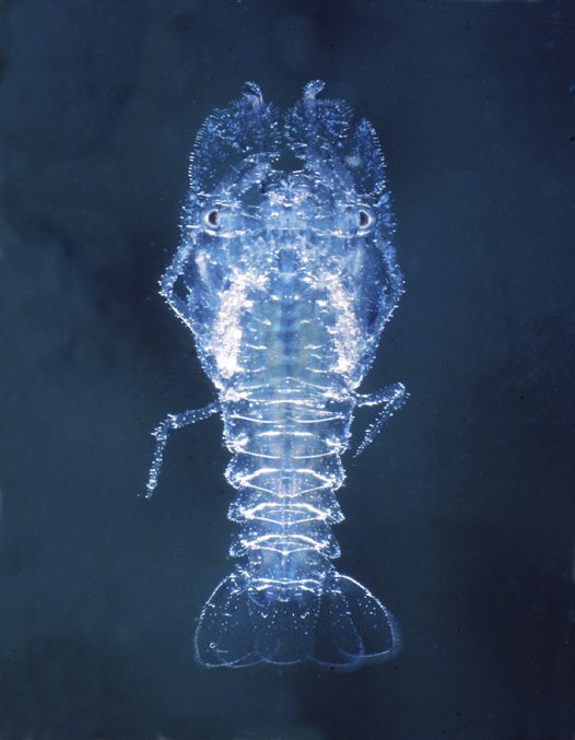 Slipper Lobster juvenile