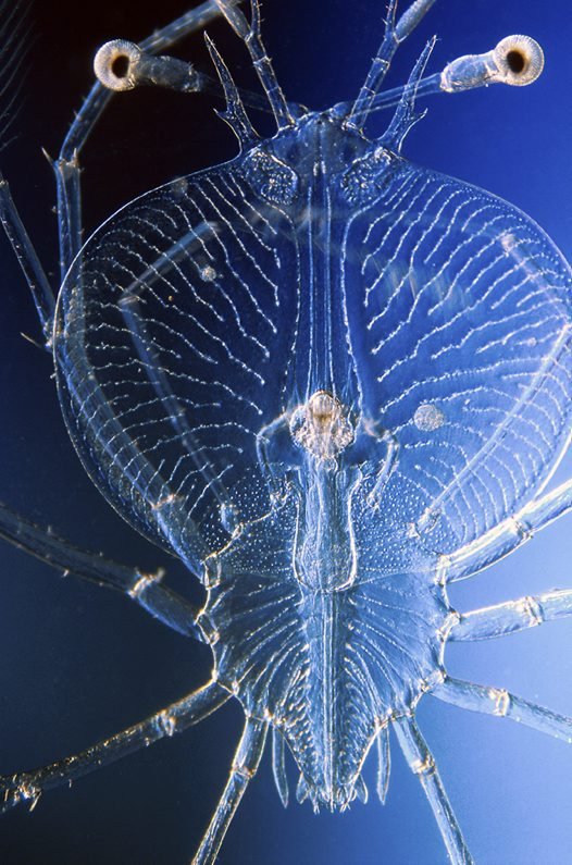 Slipper Lobster larva - 3