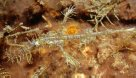 Ornate Ghostpipefish, Solenostomus paradoxus