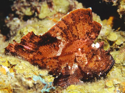 Leaf Scorpionfish on the MV Pacific Gas