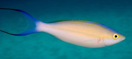 Purple Threadfin Bream, Pentapodus emeryii