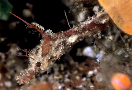 Tasselled Pipefish, Halicampus brocki