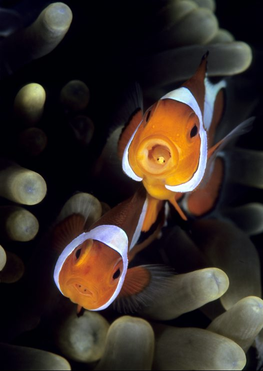 Western Clown Anemonefish, Amphiprion ocellaris