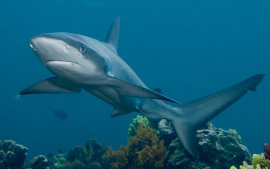 A Galapagos Shark at Lord Howe Island