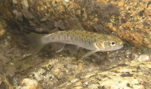 Juvenile Brown Trout, Salmo trutta