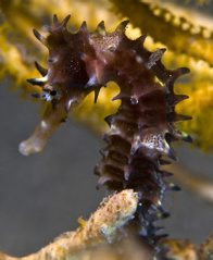 A Thorny Seahorse at the Pipeline