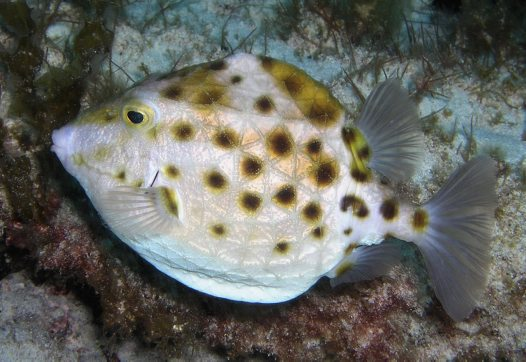 Western Smooth Boxfish, Anoplocapros amygdaloides