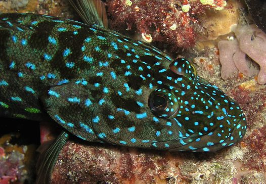 Harlequin Fish, Othos dentex