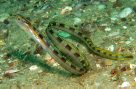 Hairtail Blenny, Xiphasia setifer