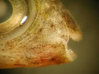 Hairtail Blenny fang