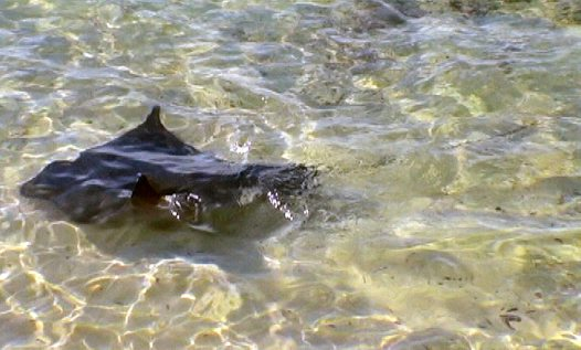 A Southern Eagle Ray at Rottnest Island