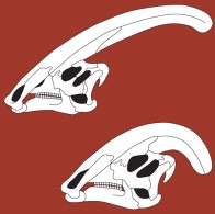 Male and female Parasaurolophus skulls