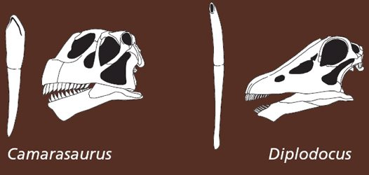 Sauropod tooth comparison