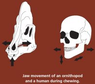 Jaw movement comparison: dinosaur and human