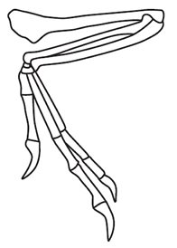 Forelimb of Bambiraptor
