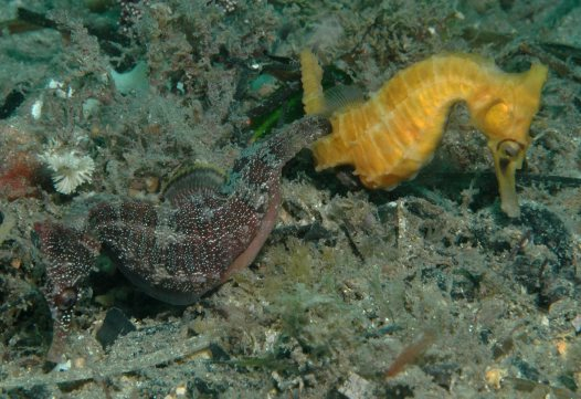 White's Seahorse courtship and mating - 12:14 pm