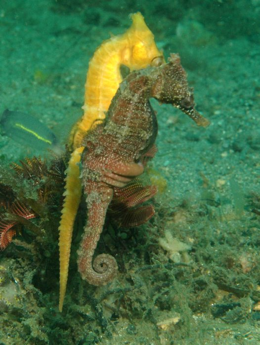 White's Seahorse courtship and mating - 12:15 pm