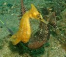 White's Seahorse courtship and mating - 12:22 pm
